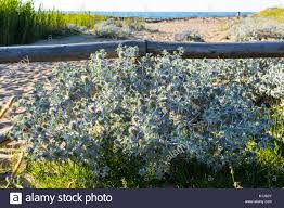 shepherdia argentea silver buffaloberry california wood thorny stock photos u0026 wood thorny stock images alamy