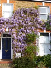 wisteria the teddington gardener