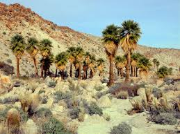 native desert plants did native americans introduce fan palms to california