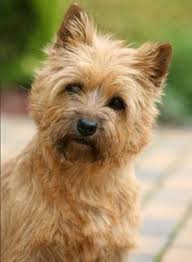cairn terrier haircuts cairn terrier i got one when i turned 16 and named him jeremiah