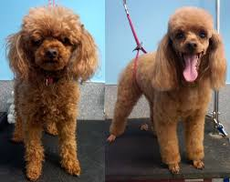 archie the toy poodle before and after haircut and photo by