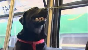 bedlington terrier seattle streetwise seattle dog rides city bus to the dog park by herself
