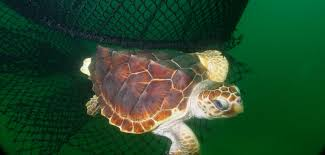 sea turtles national oceanic atmospheric administration