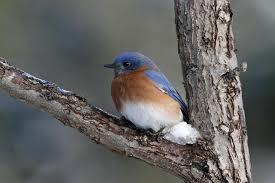 t o backyard winter blues bird canada