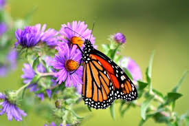 my top 3 purple flowering plants for a butterfly garden setting