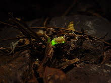 How Do Fireflies Light Up Firefly Wikipedia