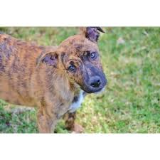 belgian shepherd rescue qld jazz large female american bulldog x belgian shepherd malinois