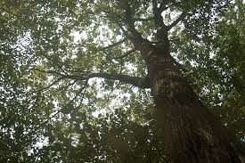author uses harvard forest oak to tell climate change story