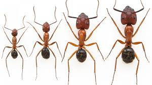 researchers nearly double the size of worker ants science aaas