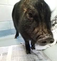 Atlas Help Atlas The Pot Bellied Pig Portageapl Org