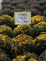 Picture Of Mums The Flowers - chrysanthemums university of florida institute of food and