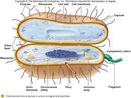 lab bacteria google search 생명과학 세포 pinterest