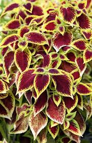 coleus or ornamental nettle stock image image of grows foliage
