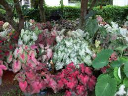 buy caladiums and more caladium bulbs 4 less