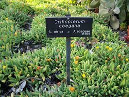 Huntington Botanical Garden by File Specimen Of Orthopterum Coegana At Huntington Botanical
