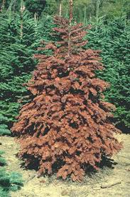 noble christmas tree the christmas tree traditions production and disease