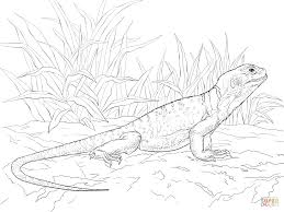 common collared lizard coloring page free printable coloring pages