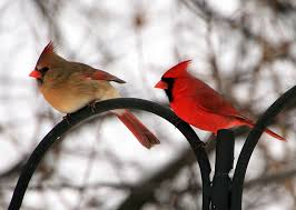 Cardinal Bird Home Decor by Research News U0027gender Gap U0027 At Our Feeders Cardinals Northern