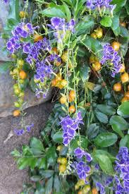 purple flowering australian native plants flowers and fruits of golden dewdrop duranta erecta seeds