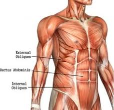 Female Abdominal Anatomy Pictures Gallery For U003e Female Abdominal Muscle Anatomy Muscles And