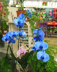 blue orchids for sale 10pcs pack blue butterfly orchid seeds moth orchid seeds
