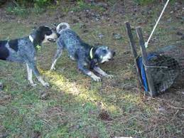 bluetick coonhound breeders in michigan 10 month old blueticks baying at coon youtube