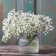 babys breath gypsophila paniculata baby s breath white easy to grow bulbs