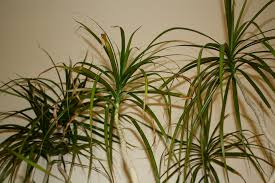 Dracaena Marginata Dragon Tree Good To Grow