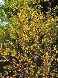 river birch archives the obsessive neurotic gardener