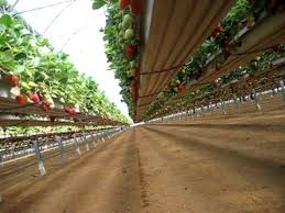 pelemix growbags gutter system for growing strawberries plant