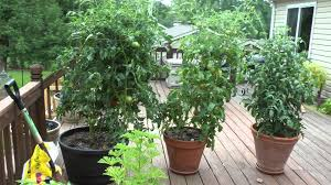 big boy tomato plant in pot st louis missouri summer 2015 youtube