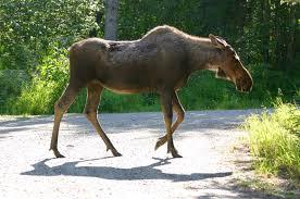 running from moose 2014