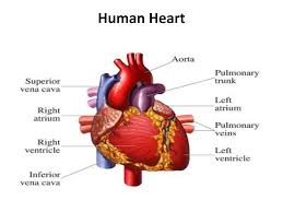 Online Human Body The Human Heart Cpr Certification Online First Aid Certified Course
