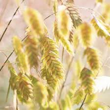 65 best cool season ornamental grasses images on