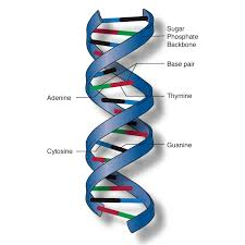 structure of the double helix geneed genetics education