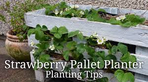 Diy Strawberry Planter by How To Plant A Diy Strawberry Pallet Planter Youtube