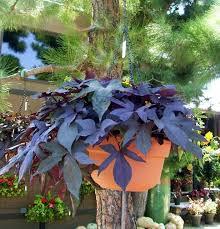 22 best sweet potato vine images on sweet potato vines