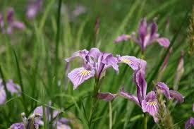 native wetland plants northwest wild wetland economy mix oregon wholesale seed company