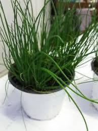 erba cipollina in vaso n 2 piante di erba cipollina vaso 14 cm foto reali ebay