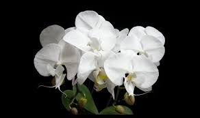 flower orchid how orchid flower petals get their shape asian scientist
