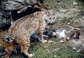 Oregon wild animals images Bobcats living with wildlife washington department of fish jpg