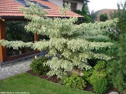 wedding cake tree cornus controversa variegata havlis cz