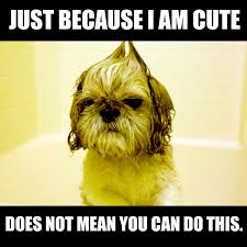 Crazy Dog Lady Meme - just because i am cute does not mean you can do this shihtzu meme