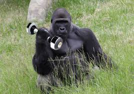 Gorilla Meme - meme gorilla gif find download on gifer