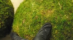 Pure Home Decor Large Xxl Pure Green Moss Balls Dried Organic Rattan Wedding