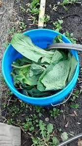 best 25 comfrey tea ideas on pinterest organic fertilizer