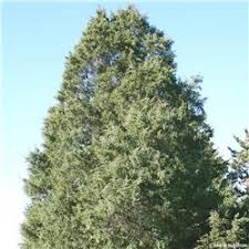 eastern redcedar tree on the tree guide at arborday org