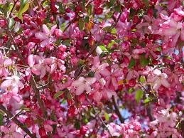 trees with pink flowers putting some in your step with flowering trees tomlinson