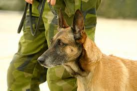 belgian sheepdog price become a certified response5 student just like them response5