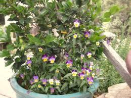 best winter flowering plants for the sierra foothills sierra